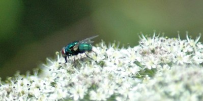 130630TGNR-Greenbotttle fly on hogweed-Little Orme