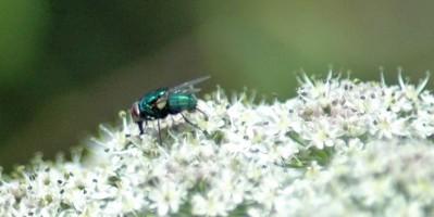 130630TGNR-Greenbotttle fly on hogweed-Little Orme