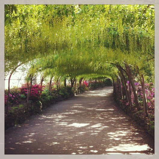 The laburnum arch, not quite at its best but you can see the potential