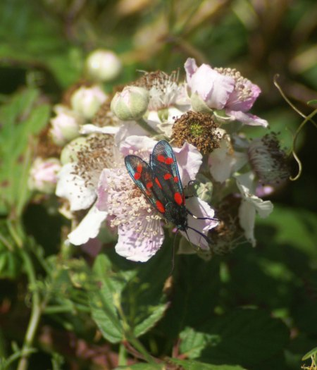 6-Spot Burnet Moth on bramble flowers