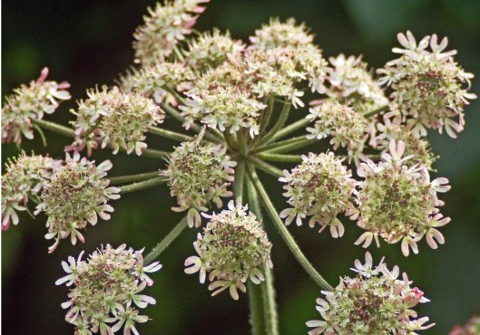 The inflorescence of a Hogweed plant