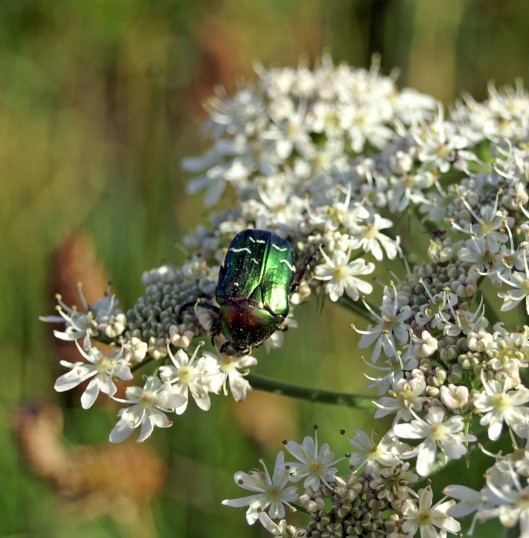 2/7/08-Rose Chafer on Hogweed - Pembrokeshire Coastal Path
