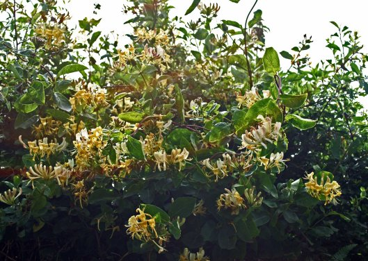 Honeysuckle lit by evening sun in a hedgerow, Nevern, Pembrokeshire