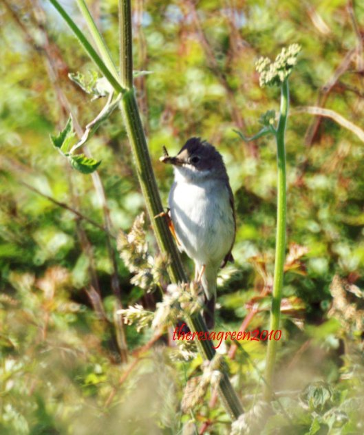 11/6/10-A whitethroat with food perched on hogweed-Ceibwr, Pembrokeshire