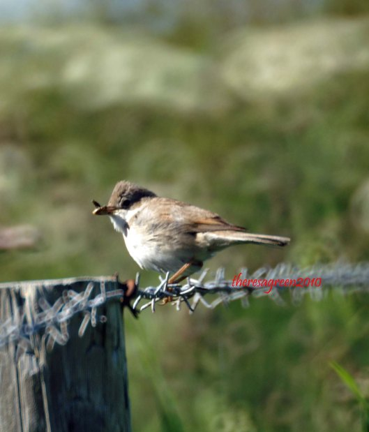 The whitethroat perched   on the wire fence hanging on to its nestling's tea