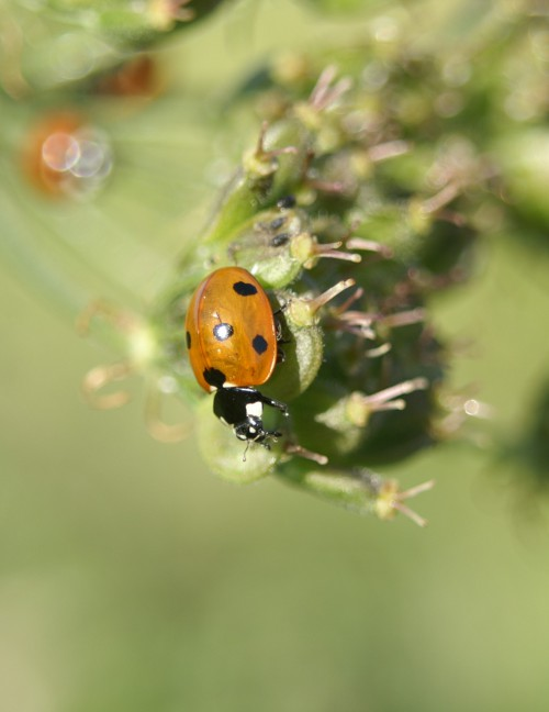 The most common ladybird in the UK