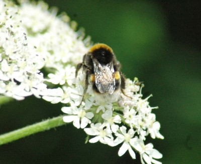 30/6/13-Bumblebee on Hogweed flowers, Little Orme