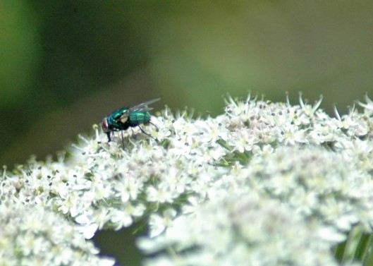 30/6/12-Greenbottle fly on hogweed - Little Orme