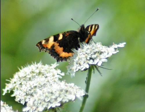 30/6/13-Small Tortoiseshell on hogweed-Little Orme