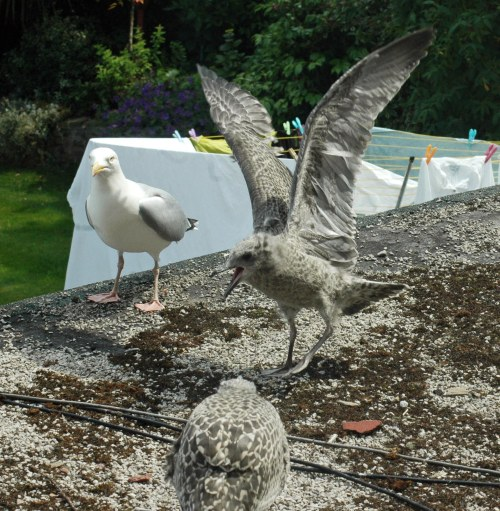 Young gull's sister arrives from above