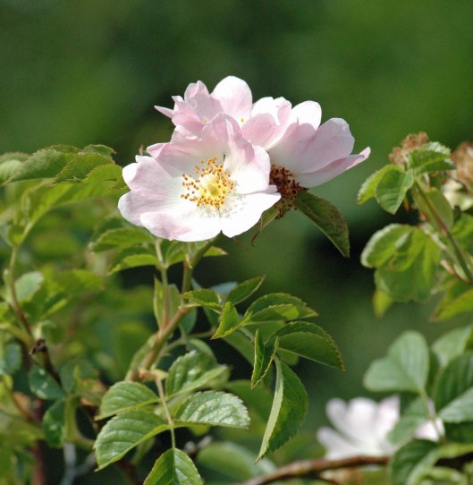 Dog Roses-another shrub often found on a woodland edge