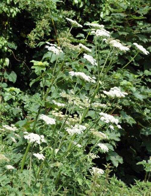 Hogweed-Heracleum spondylium
