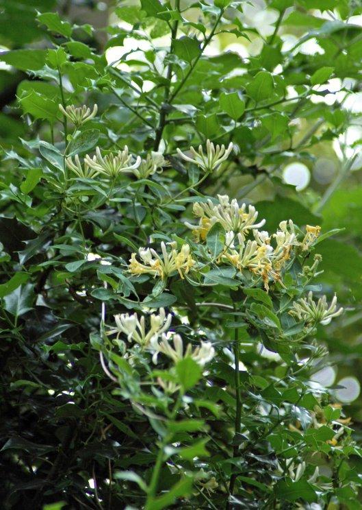 Honeysuckle clambering up a tall holly shrub
