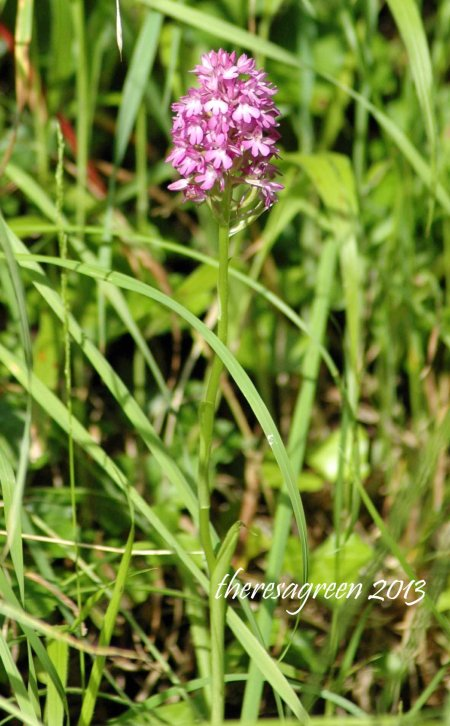 Another Pyramidal Orchid