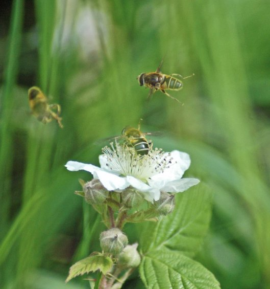 Two male hoverflies expressing interest in a female