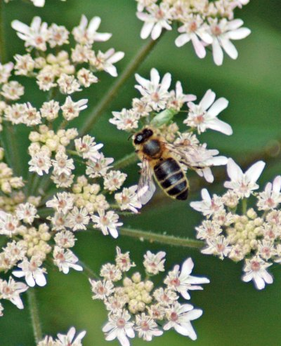 Probably a hoverfly an Eristalis species