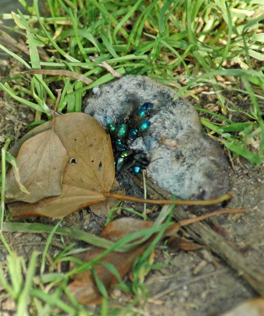 Greenbottle flies on the carcass of a dead shrew