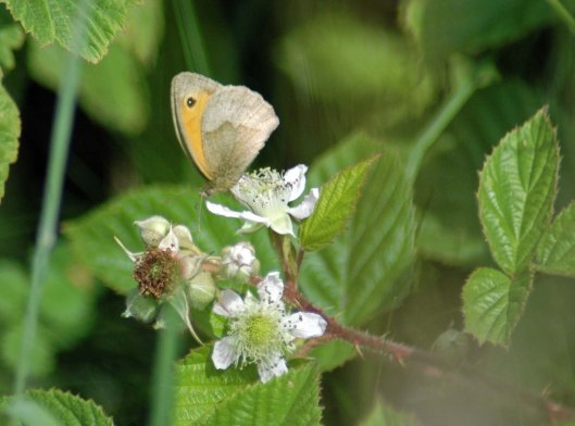 A Meadow Brown nectaring on bramble flower
