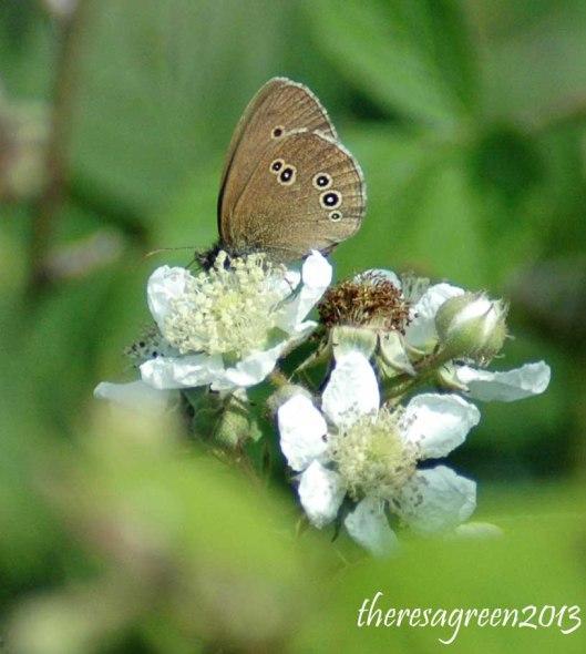 Ringlet - Aphantopus hyperantus