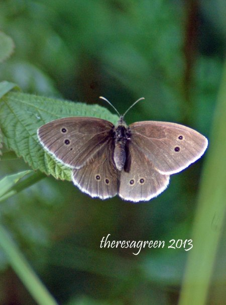 Ringlet resting with wings open