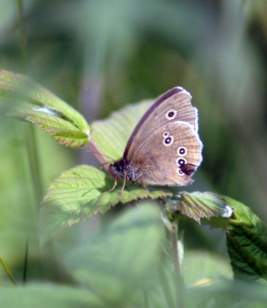 Ringlet with damaged wings