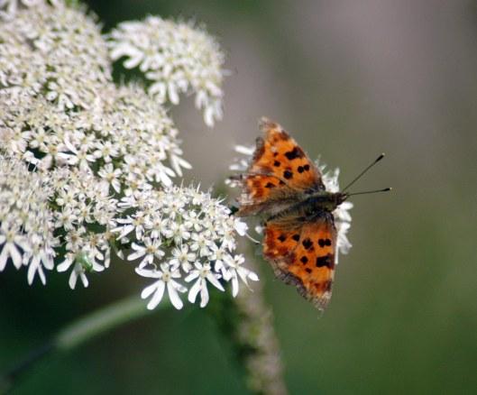 8/7/13 -Comma butterfly