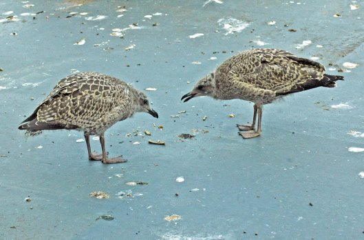 The young gulls 'playing' with a stick