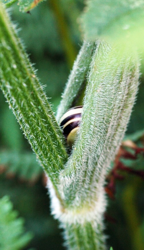 A snail tucked into hogweed stems
