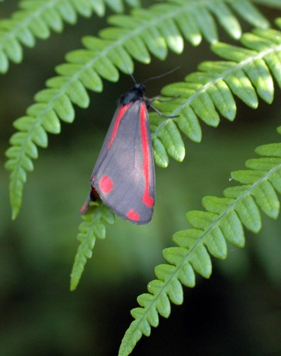 13/7/12-Cinnabar moth-Little Orme