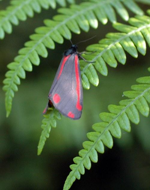 Cinnabar moth resting on fern