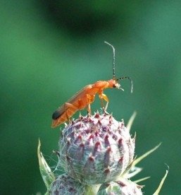 Red Soldier Beetle