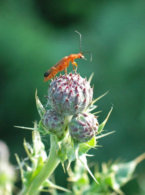 130712TGINCT- Soldier beetle on thistle-Little Orme