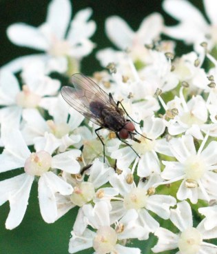 A tachinid fly nectaring on hogweed