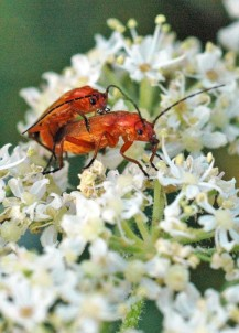 Mating pair of Red Soldier Beetles