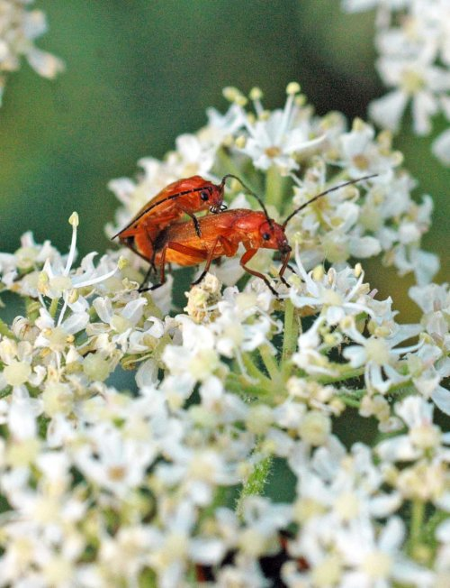 130712TGINCTS-Soldier beetles mating on hogweed flower-Little Orme