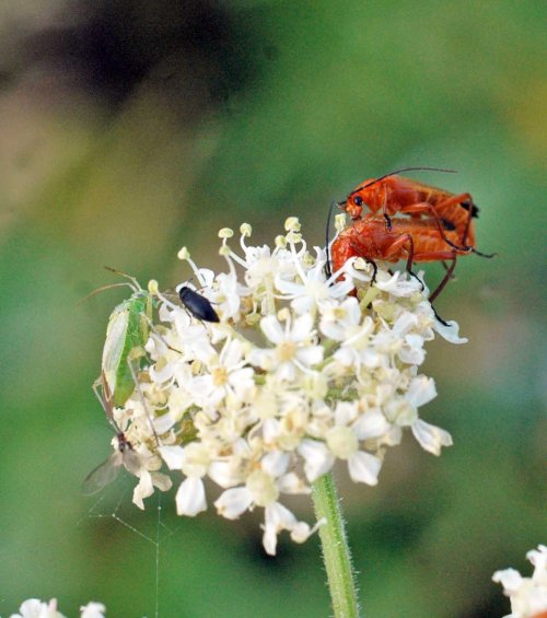 A pair of soldier beetles mating, a green shield bug, a small black beetle and a fly of some sort all on one small flowerhead, oh and there's a spider's web