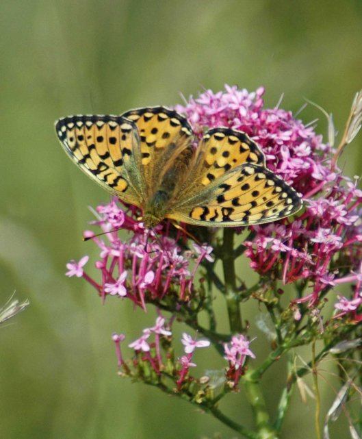 Perfect Dark Green Fritillary nectaring on valerian