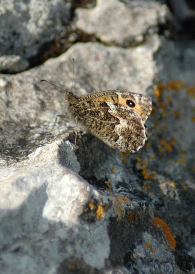 Grayling perched on a rock