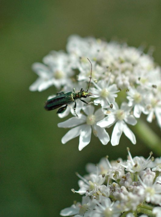 A glamorous beetle with a clumsy common name  of  'Swollen-thighed Beetle' - Oedemera nobilis