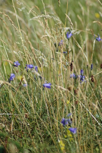 Harebells grow in long grass as well as on short turf