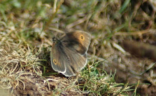 Meadow Brown basking on a path through the grass