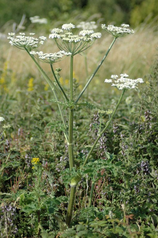 A flowery patch amongst long grass with hogweed, ragwort, wood sage,  lady's bedstraw & more