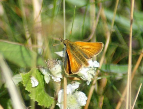 Small skipper (male) on bramble flowers-Bryn Euryn