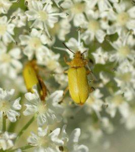 Sulphur beetle-Cteniopus sulphureus