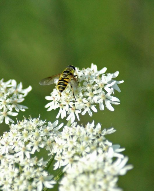 Hoverfly-Myathropa florea