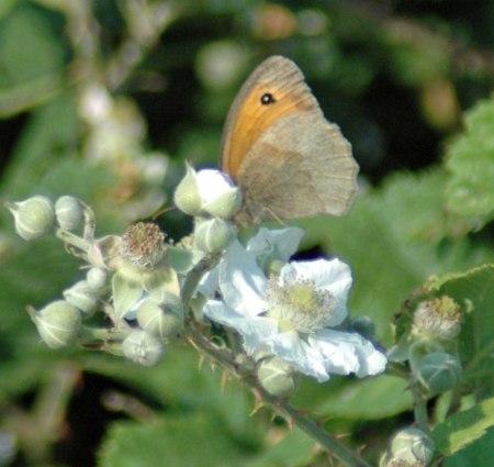 Meadow Brown feeding on bramble