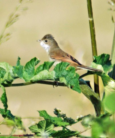 Common Whitethroat- Sylvia communis