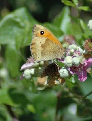 Meadow Brown on bramble flowers-Little Orme