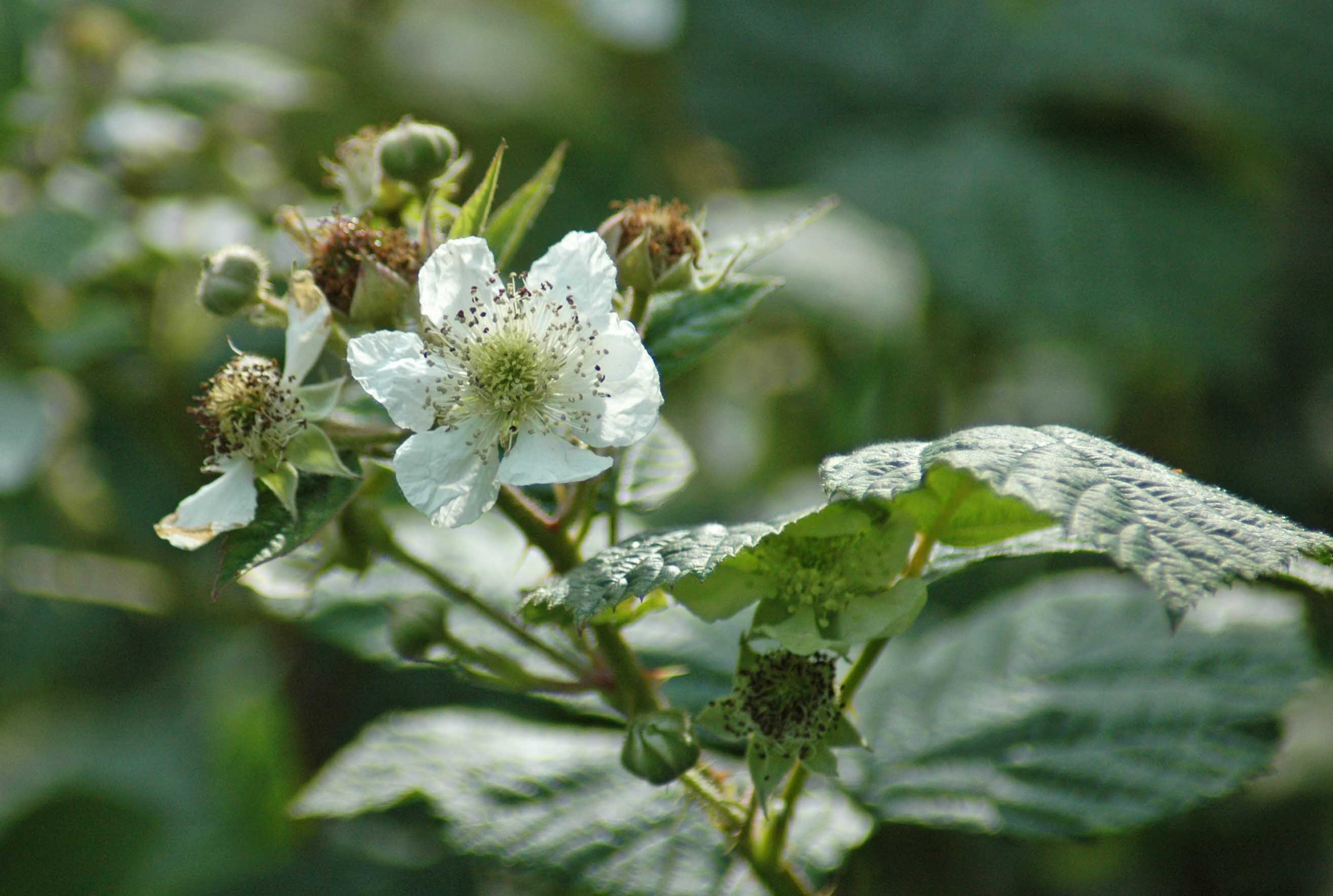 The blackberry bramble | everyday nature trails