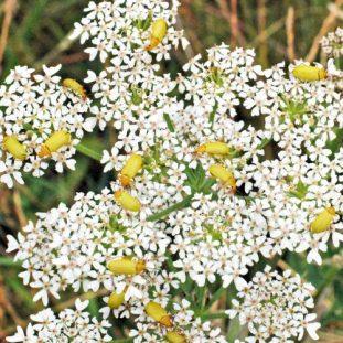 150710BERC-Sulphur beetles